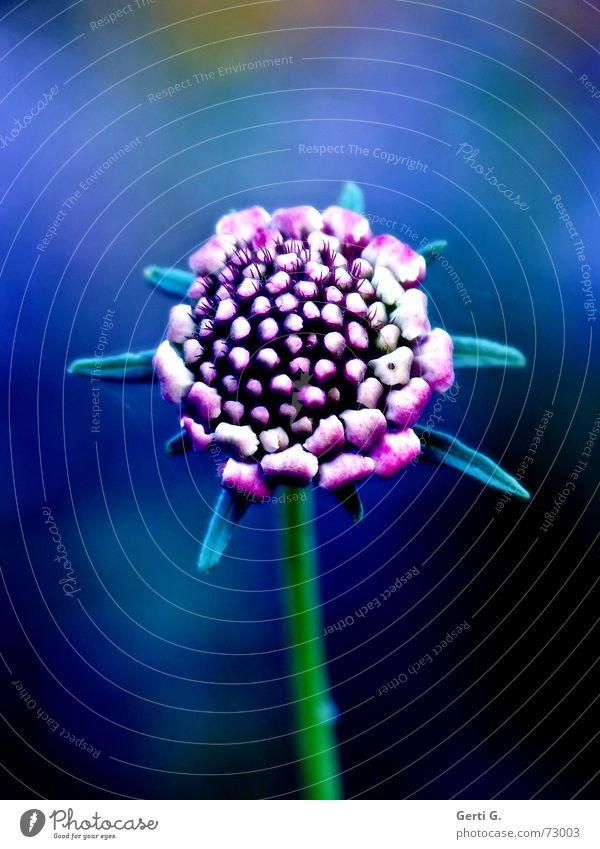 still got the blue Natur Blume grün blau Blüte rosa Stern (Symbol) Insekt Stengel Blütenknospen
