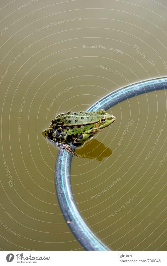 Frosch sitzt auf Schwimmring Natur Landschaft Tier Sommer Garten Teich Wildtier Tiergesicht 1 schaukeln sitzen Flüssigkeit frisch lustig nass grün Farbfoto