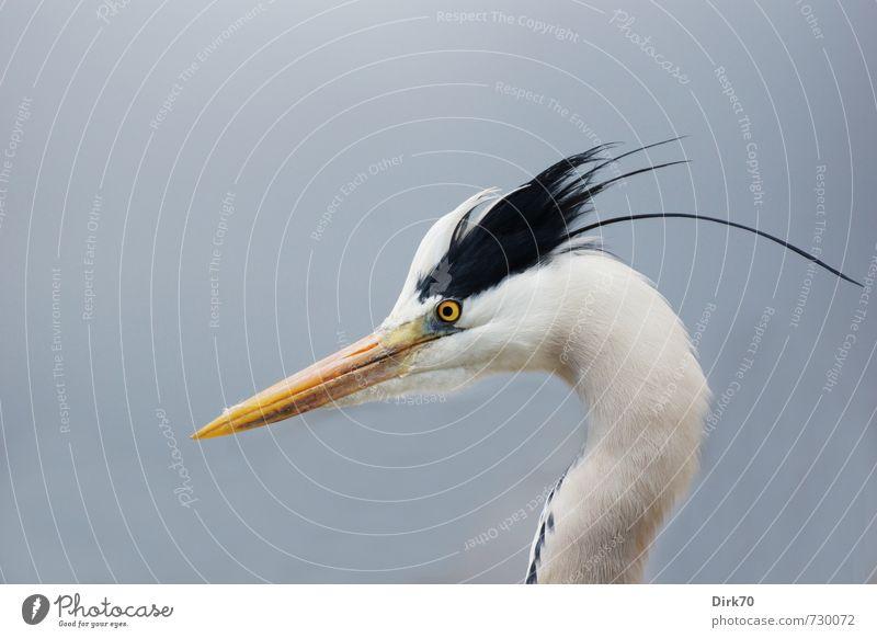 Angry young bird Natur Tier Frühling Istanbul Türkei Wildtier Vogel Reiher Graureiher Fischreiher 1 beobachten Aggression wild Wut blau gelb schwarz weiß