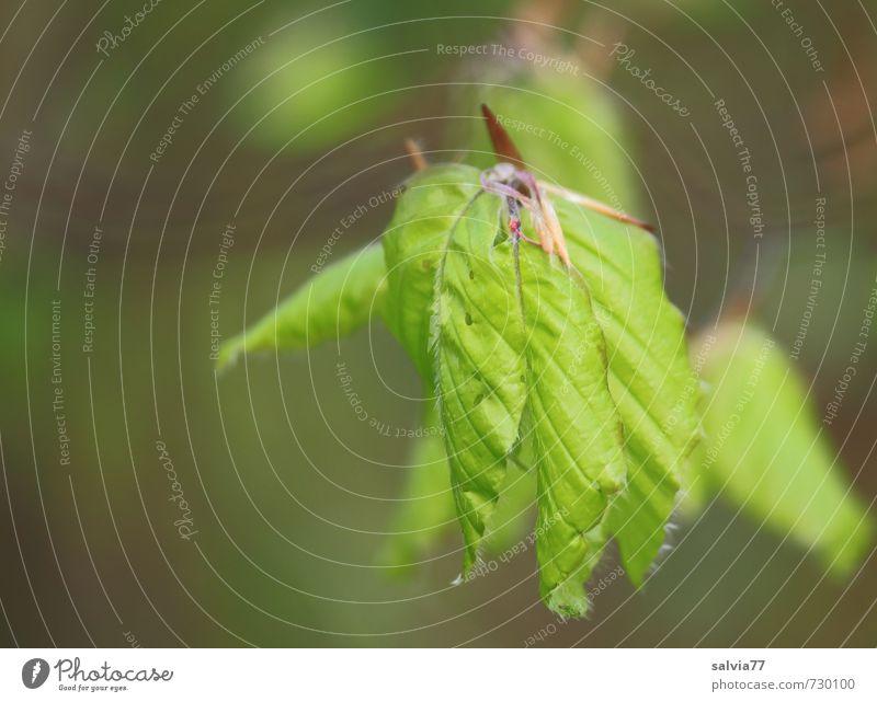 frühlingsgrün Umwelt Natur Pflanze Frühling Baum Blatt Grünpflanze Wildpflanze Park Wald Wachstum frisch neu positiv saftig weich braun Hoffnung Glaube