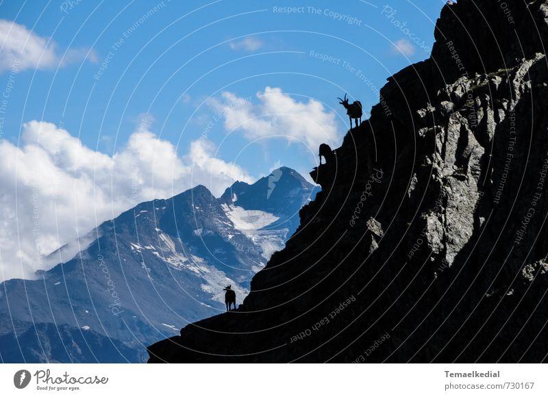 Texelgemsen Natur Ferien & Urlaub & Reisen blau schön weiß Landschaft ruhig Tier schwarz Berge u. Gebirge Freiheit Felsen Wildtier Tourismus wandern hoch
