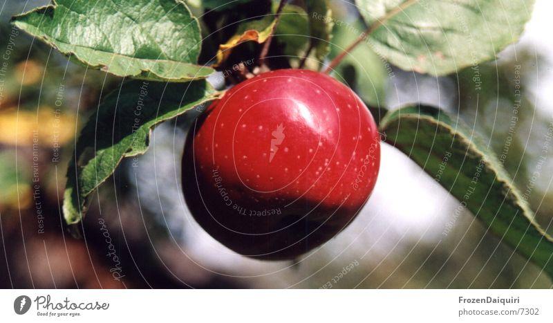 BigRedApple rot grün hängend Baum Blatt glänzend Apfel Ast