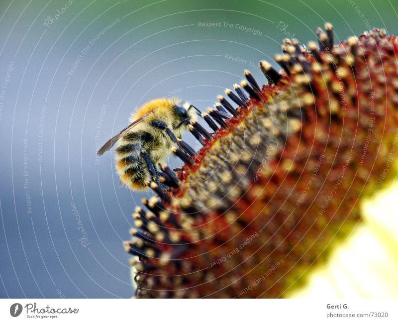 Stechimme Honigbiene Biene Hautflügler Fluginsekt stechen Hummel gestreift bestäuben Sonnenblume Staubfäden Imker Pollen tanken Insekt Biene Maja süß wildbiene