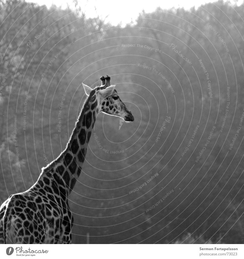 = : >------------- Tier Zoo Afrika Leipzig Wald lang groß Einsamkeit Holzmehl Giraffe Morgen Sonne Horn Hals Niveau hoch Denken Blick animal morning sun forest