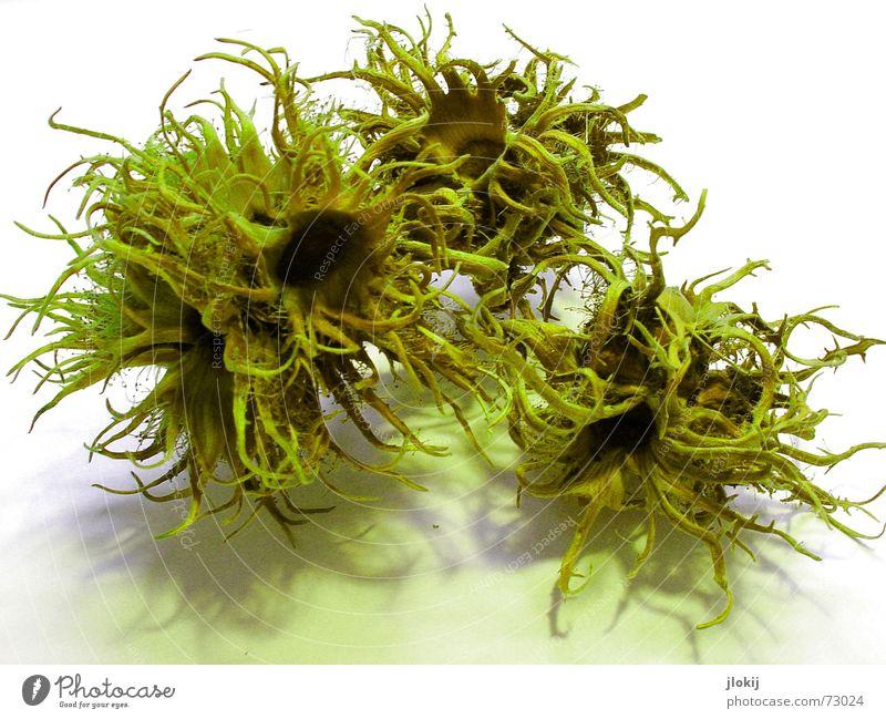 grünes Haselnussgekräusel Natur Baum Pflanze Leben Herbst fallen Vergänglichkeit Schmerz obskur Ernte Basteln Nuss September Nut