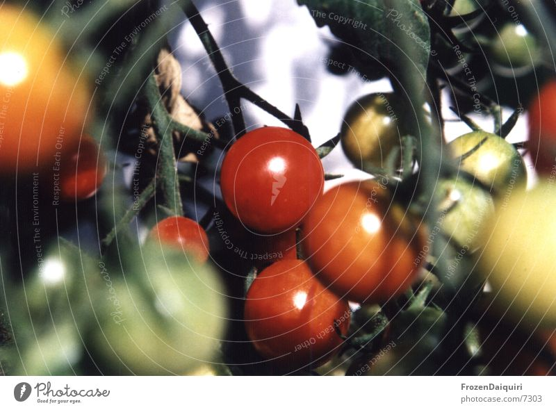 Cherry/Tomatoes grün Pflanze rot glänzend Tomate hängend Cocktailtomate