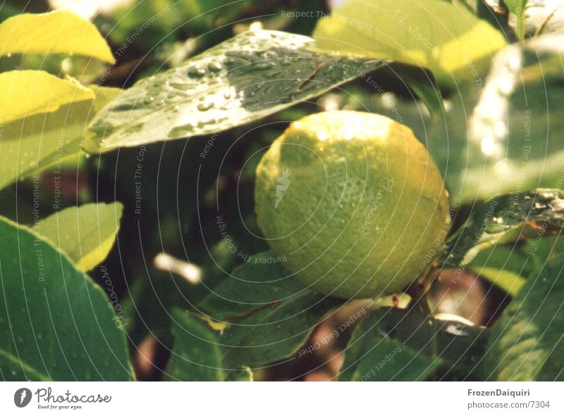 Lemontree Sonne grün gelb Wassertropfen Ast Zitrone