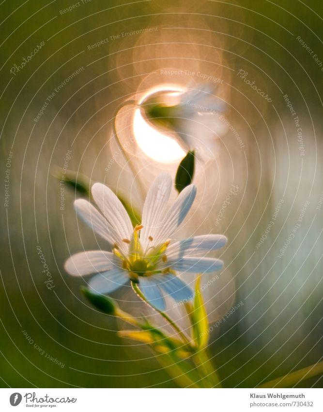 Kleine Kostbakeit Pflanze Sonnenlicht Frühling Blume Blüte Grünpflanze Wildpflanze Garten Park Wiese Blühend schön gelb grün weiß Romantik Sternmiere Farbfoto