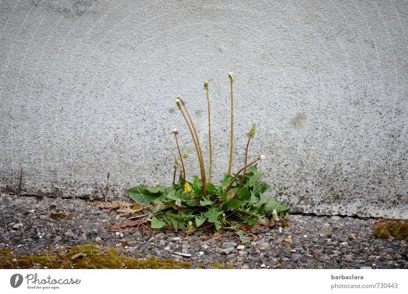 mit wenig auskommen Umwelt Natur Pflanze Frühling Löwenzahn Mauer Wand Straße Wege & Pfade Wegrand Blühend Wachstum einfach frisch grau grün Zufriedenheit