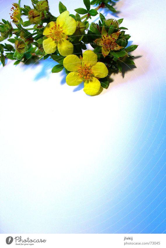 blühen, verblühen, blühen, verblühen... Blüte gelb Blühend grün Sträucher zart Herbst Pflanze Natur Freundlichkeit weich lieblich schön Dekoration & Verzierung