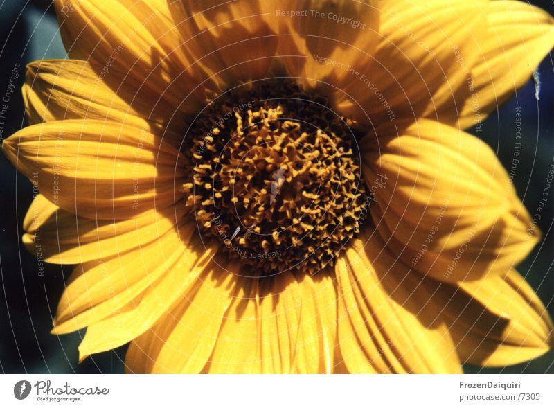 Sunflower Sonnenblume Sommer Makroaufnahme gelb braun Lebensfreude Licht Blume Insekt Biene strahlend sunflower