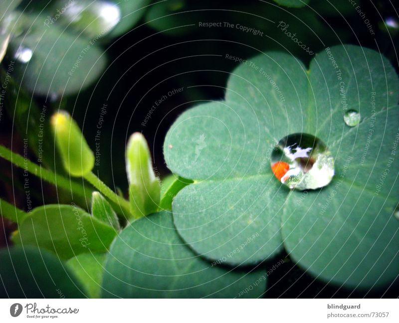 Every Drop Of Rain Pflanze grün rot Leben Blüte Glück Garten Regen träumen frisch Wassertropfen nass Kugel feucht Klee Makroaufnahme