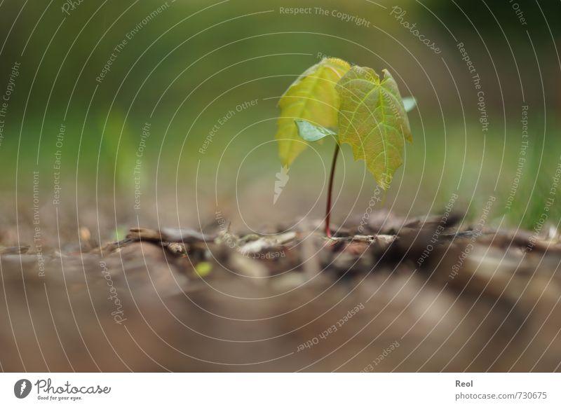 Bäumchen Natur Pflanze Erde Frühling Baum Blatt Wildpflanze Ahorn Ahornblatt Ahornsamen Wald alt Wachstum Stadt braun grün Frühlingsgefühle Baumschössling