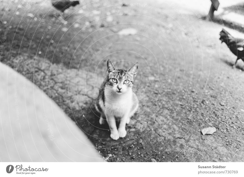 kitty Tier Haustier Katze 1 Tierjunges Tapferkeit Coolness Haushuhn hypnotisch Angst Hawaii Kauai freilebend Schwarzweißfoto Außenaufnahme Menschenleer