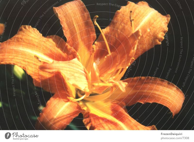Blüte Blume gelb Makroaufnahme orange Pollen