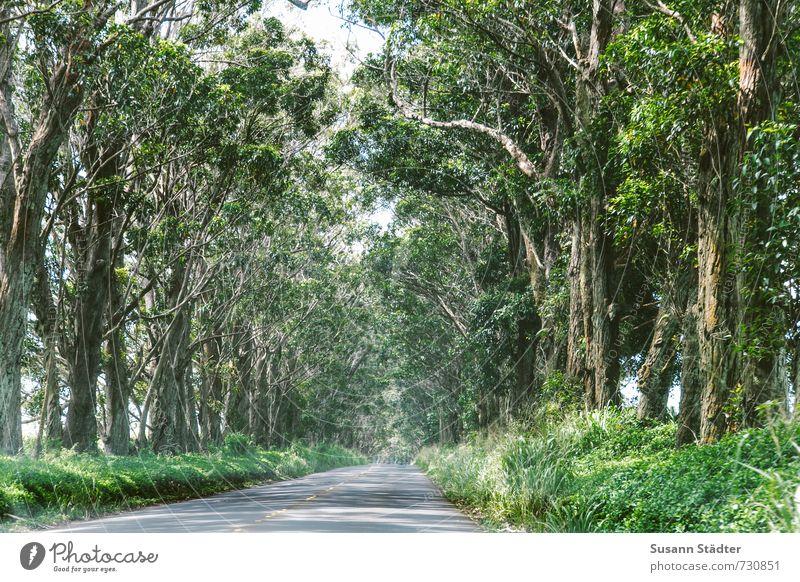 tree tunnel Natur Schönes Wetter Baum einzigartig Tunnelblick Allee Kauai Hawaii Farbfoto Außenaufnahme Menschenleer Starke Tiefenschärfe Zentralperspektive