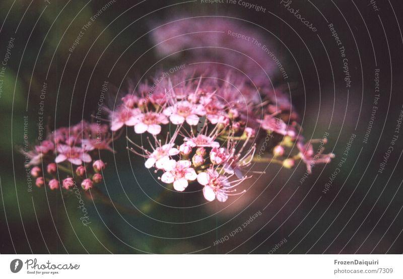 Knospen >> Blüten klein Blume weiß rosa Makroaufnahme Blütenknospen