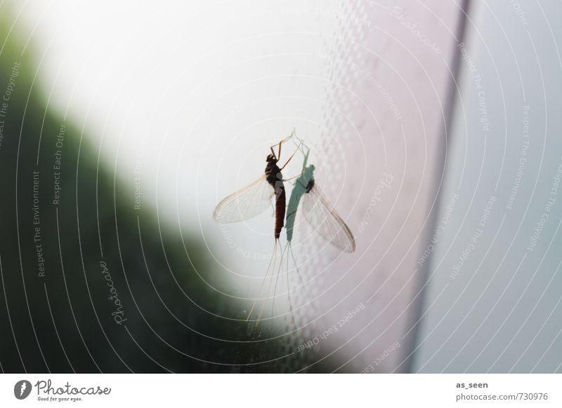 Mücke Natur grün Sommer ruhig Tier schwarz Umwelt grau klein Garten Stimmung Glas ästhetisch berühren bizarr Symmetrie
