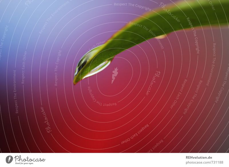 es tropft Natur Wasser Wassertropfen rot violett Blatt Regen Farbfoto Außenaufnahme Nahaufnahme Detailaufnahme Makroaufnahme Schwache Tiefenschärfe