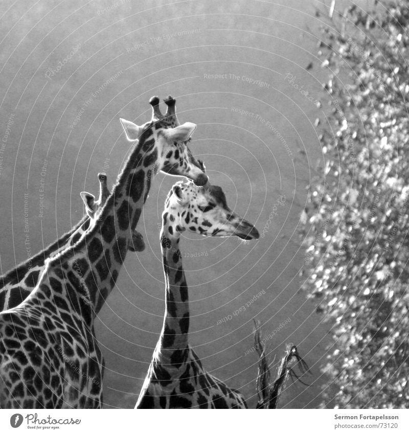 = : >------------- (familie) Tier Zoo Afrika Leipzig Wald lang groß Einsamkeit Holzmehl Blatt Steppe Giraffe Morgen Horn Hals Niveau hoch Denken Blick animal