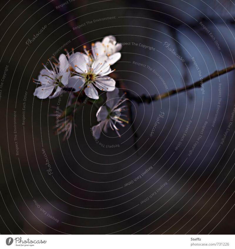 Schlehdorn blüht im Frühling Schwarzdorn Wildpflanze Frühlingszweig einheimisch einheimische Pflanzen Frühlingsblüten März April Frühlingstag