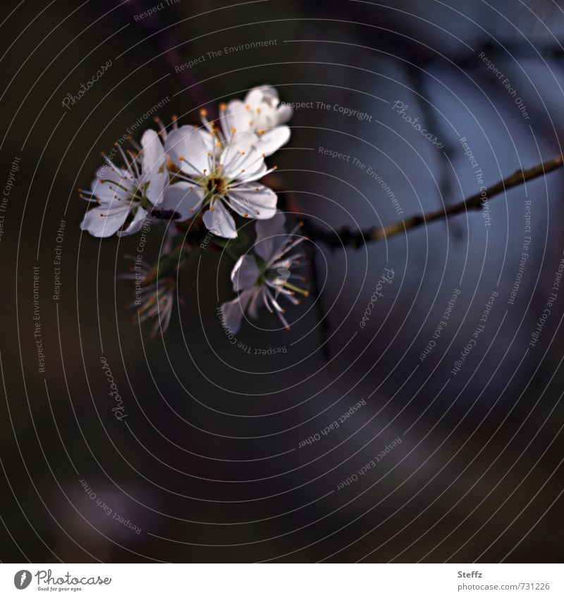 Schlehdorn Umwelt Natur Pflanze Frühling Sträucher Blüte Wildpflanze Blühend weiß Frühlingsgefühle Schwarzdorn April Frühlingstag Vor dunklem Hintergrund