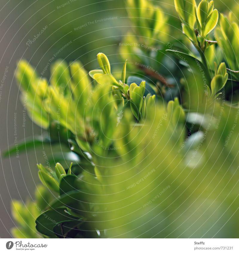 Frühlingshecke Hecke Buchsbaum Buchsbaumhecke Gartenhecke Heckenpflanzen Jungpflanze Frühlingsgrün Sträucher Grünpflanze hellgrüne Blätter junge Blätter buschig