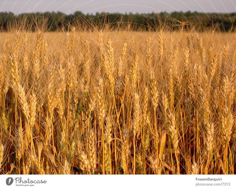 ein bett im kornfeld? Weizen Feld braun Physik Landwirtschaft Korn orange Sonne Wärme Abend agriculture farming