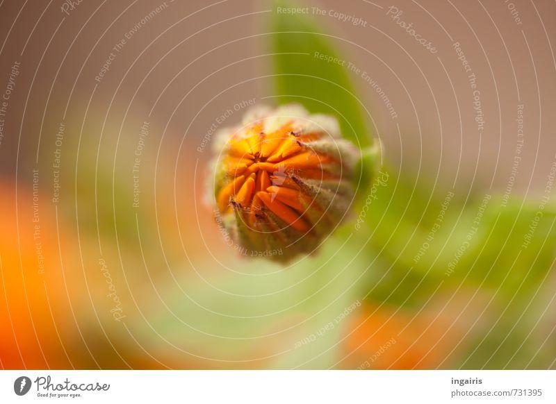 Ringelblumenknospe Natur Pflanze grün schön Wärme Blüte Gefühle Frühling Stimmung orange träumen Zufriedenheit Wachstum leuchten Blühend