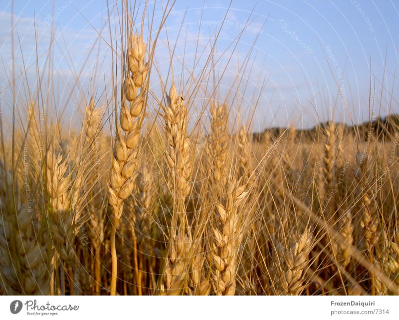 Weizenkörner Sonne Wärme braun orange Feld Physik Landwirtschaft Korn Weizen Ähren