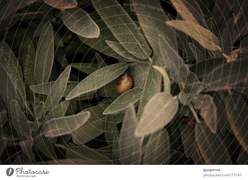 { spicy 09 } Salbei lecker Geschmackssinn grün schäbig Kräutergarten würzig Duft Geruch odor würze würzessenz Schnecke Wildtier verwildert aromatic odour smell