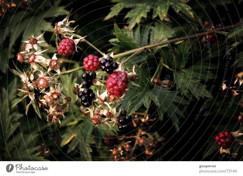 { BromBearBusch } Natur Sträucher Wildtier schäbig Beeren entwenden unreif Brombeeren verwildert Brombeerbusch