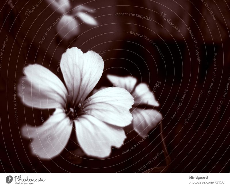 A Poets Dream Blüte Blume Pflanze violett zart zerbrechlich Trichter verwundbar sensibel dunkel Erholung mehrfarbig schön Sommer rosa poetisch geheimnisvoll