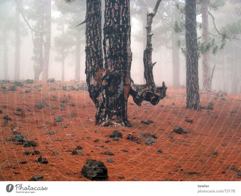 Siamesischer Zwillingsbaum Natur Pflanze Baum rot Einsamkeit Wald Herbst Erde Nebel Tannennadel Spanien Nebelwald La Palma