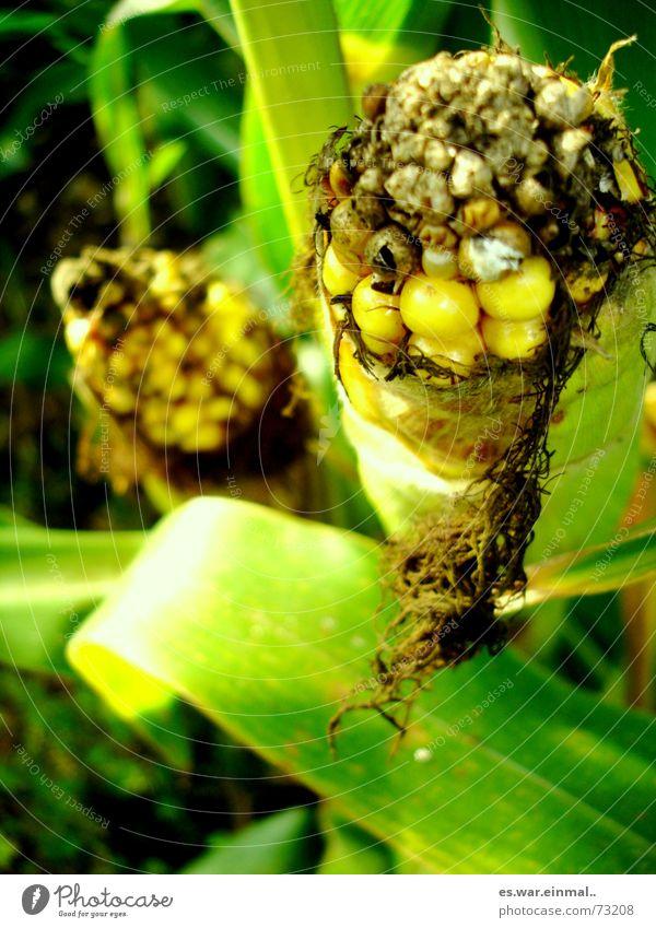 scheisskolben. Gemüse Ernährung Mittagessen Abendessen Bioprodukte Vegetarische Ernährung Mais Maiskolben Maisfeld Feld alt dehydrieren Wachstum gelb grün