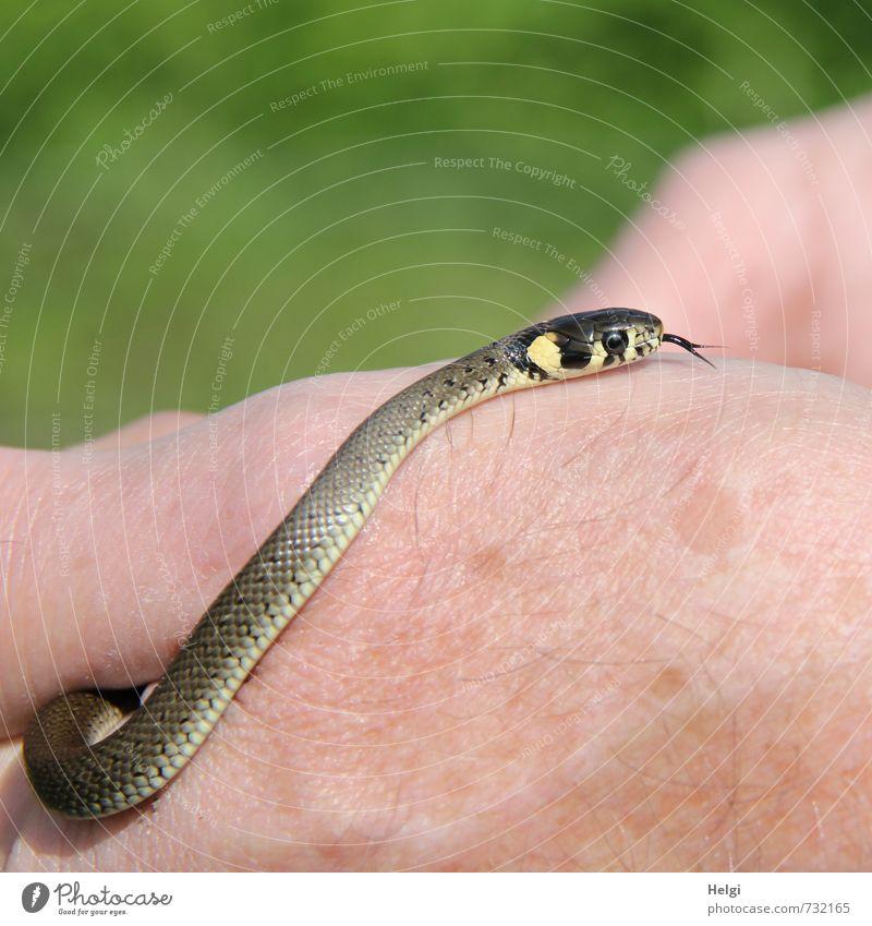 Natrix natrix Natur grün Hand Tier gelb Umwelt Tierjunges Leben grau klein natürlich außergewöhnlich Wildtier ästhetisch berühren einzigartig