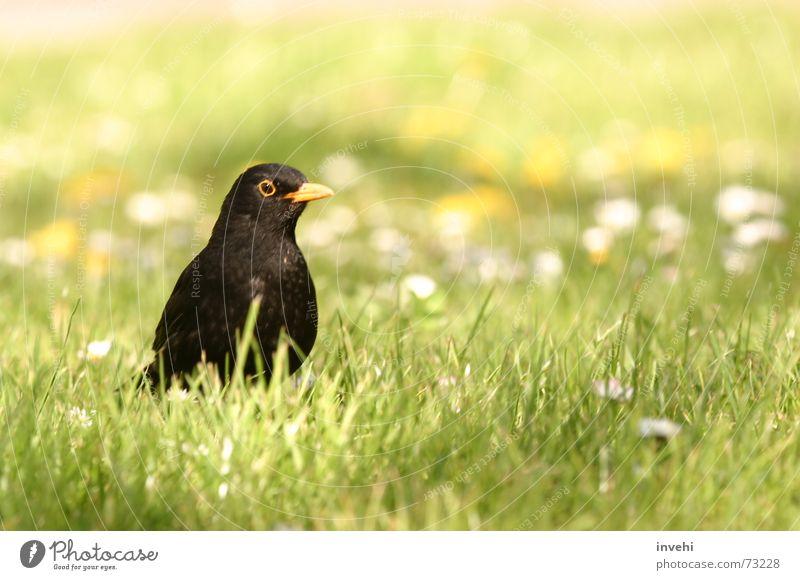 bird(day) Natur Wiese Freiheit Vogel fliegen nah Tier Biotop Amsel