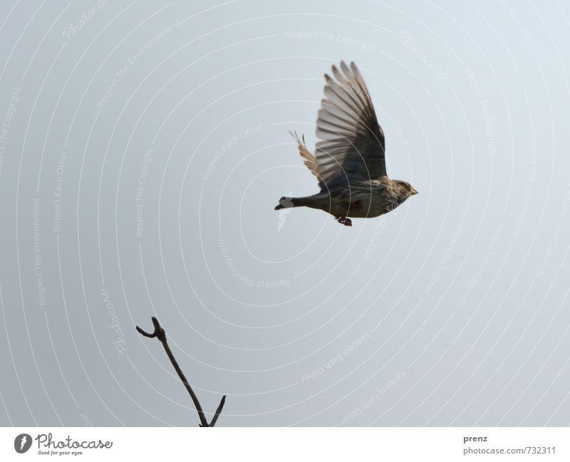 Grauammer fliegend Umwelt Natur Tier Himmel Schönes Wetter Wildtier Vogel Flügel 1 braun grau Singvögel Zweige u. Äste Farbfoto Außenaufnahme Menschenleer