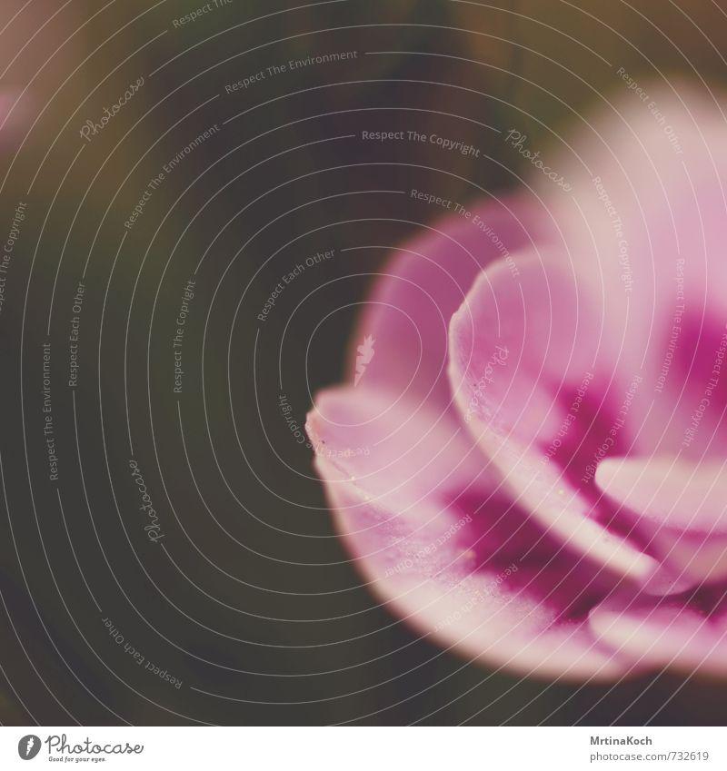 blüte. Umwelt Natur Pflanze Frühling Sommer Schönes Wetter Blume Rose Blatt Blüte Nutzpflanze Wildpflanze Garten Wiese rund saftig Glück Fröhlichkeit sanft rosa