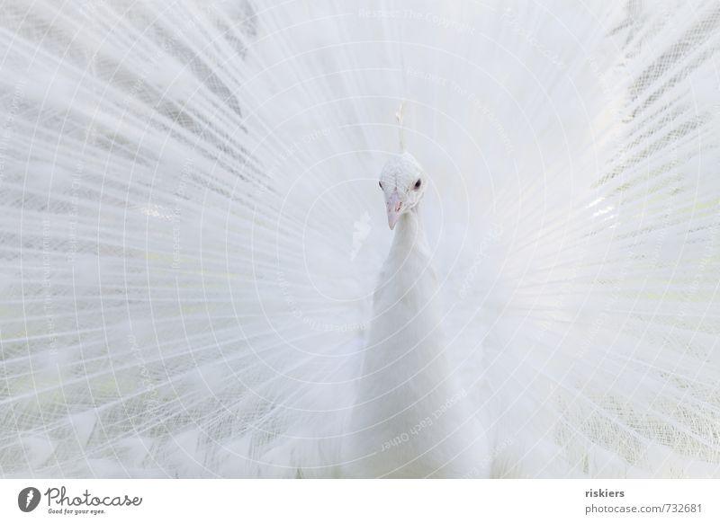 snow schön weiß Tier außergewöhnlich hell elegant Kraft Wildtier ästhetisch beobachten Wachsamkeit Zoo exotisch selbstbewußt achtsam Pfau