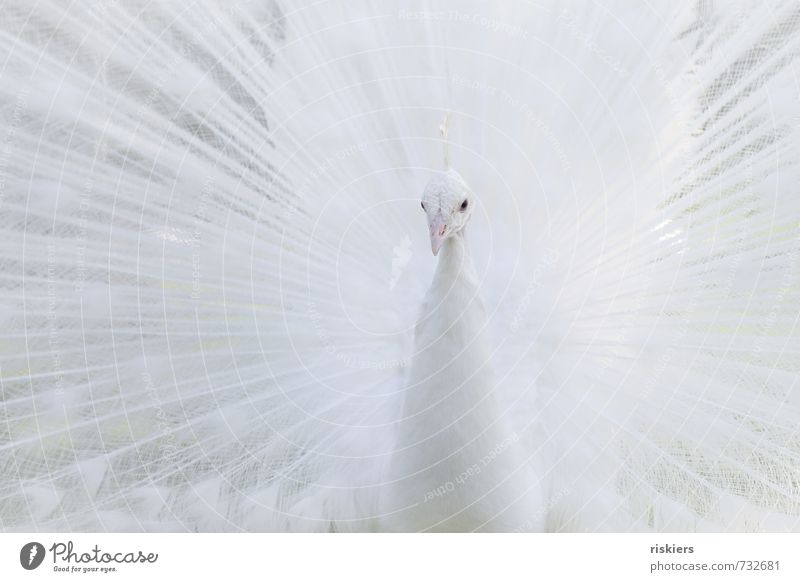 snow Tier Wildtier Zoo Pfau 1 beobachten Blick ästhetisch außergewöhnlich elegant exotisch hell schön weiß selbstbewußt Kraft achtsam Wachsamkeit majestetisch