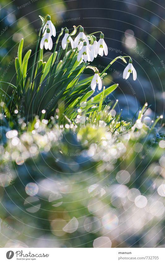 Schneeglöckchen Natur Pflanze Frühling Winter Blume Blüte Frühblüher glänzend leuchten authentisch kalt natürlich positiv grün weiß Frühlingsgefühle Farbfoto