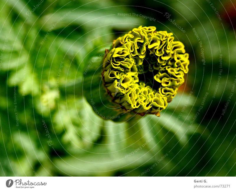 ein grüner Tag Blume Blüte Pflanze Natur gelb Tagetes frisch unverdorben Blütenknospen korbblüter krautige pflanze schnittblume verrückt Neigung Kräusel