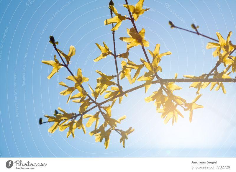 Forsythe Natur Pflanze Himmel Wolkenloser Himmel Frühling Schönes Wetter Sträucher Blüte Forsythienblüte Forsithie Freundlichkeit hell blau gelb Lebensfreude
