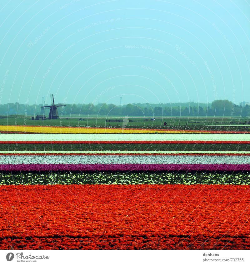 Tulpenfelder mit Windmühle Ferien & Urlaub & Reisen Tourismus Niederlande Landschaft Blume Feld Blühend Blick Duft retro mehrfarbig orange rot Frühlingsgefühle
