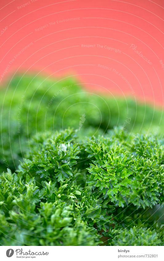 frische Petersilie Kräuter & Gewürze Gesunde Ernährung ästhetisch Duft Gesundheit lecker saftig grün rot Farbe genießen Küchenkräuter Farbfoto mehrfarbig