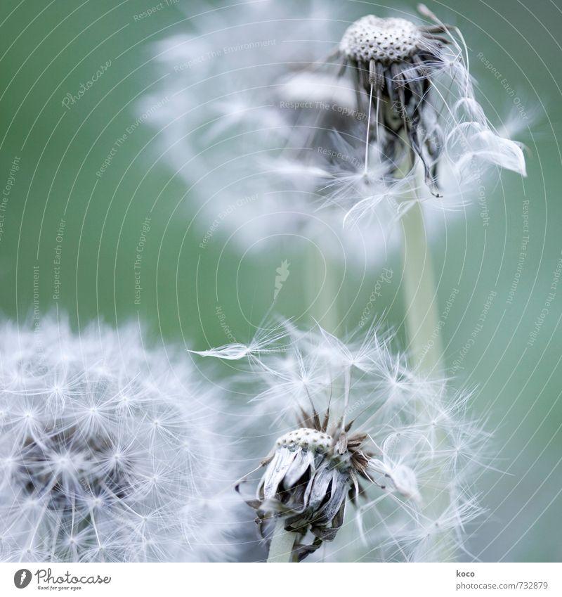 zweiter frühling. Umwelt Natur Pflanze Frühling Herbst Blume Blüte Löwenzahn Pusteblume alt berühren Blühend verblüht dehydrieren einfach natürlich weich grau