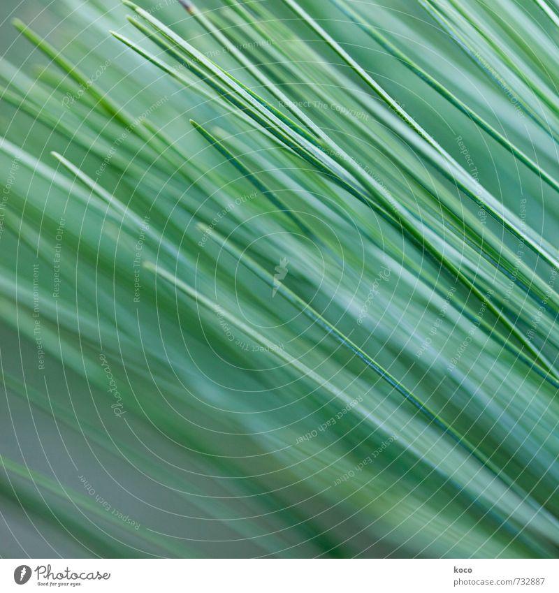 Schräglage. Umwelt Natur Pflanze Frühling Sommer Baum Gras Blatt Grünpflanze Nadelbaum Linie Wachstum einfach Spitze grün weiß ästhetisch Zufriedenheit Farbfoto