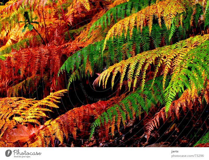 Märchenwald Farbe Wald Herbst träumen Echte Farne