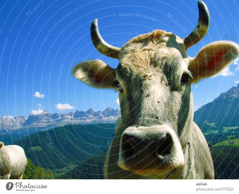 Bergkuh Kuh Tier Ferien & Urlaub & Reisen Dolomiten Wachsamkeit wach Berge u. Gebirge Himmel blau Interesse